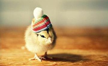 回家幫毛寶貝試試 萌萌噠小雞頂上時尚