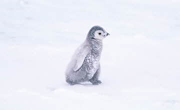 霸脫~~讓我養一隻! 來自南極的萌物企鵝