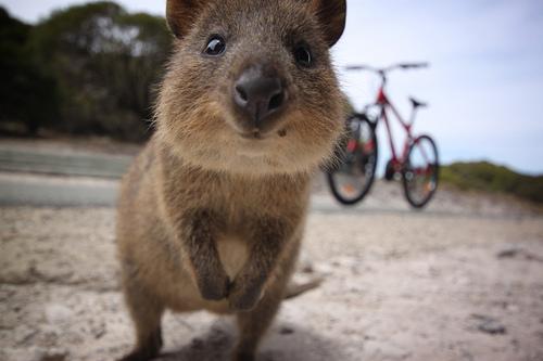 今天要介紹給大家的是超級萌物短尾矮袋鼠(quokka)