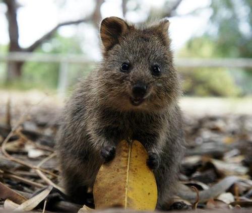 牠住在禁止汽車通行的澳大利亞西南海岸外的洛特尼斯島
