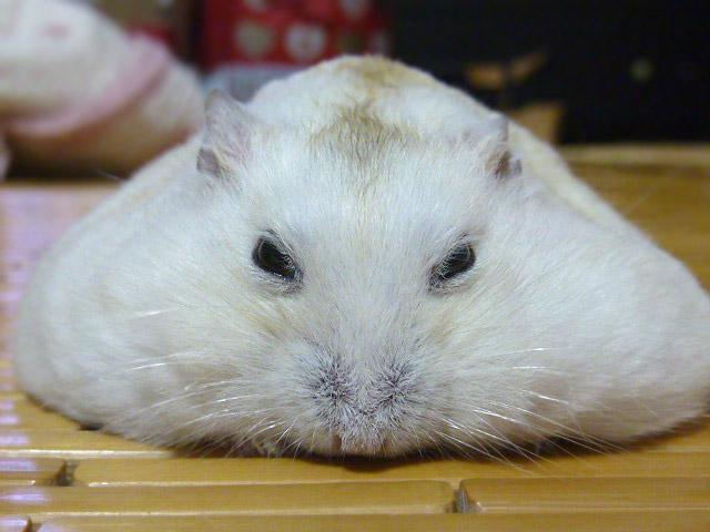 唉額~ 軟趴趴的老鼠~會不會是生病了?