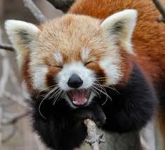 今天要向大家介紹的就是牠~ 學名叫做小熊貓,又名紅熊貓或是火狐