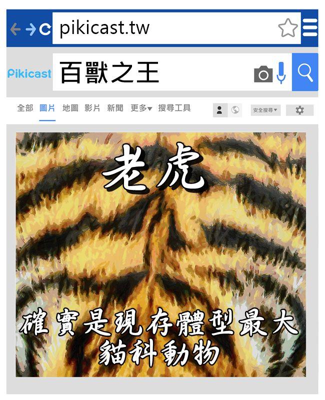 西伯利亞虎成年雄性比成年雄性獅子平均重多100磅(約45.5kg)!