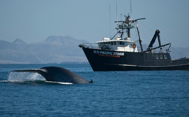 TOP 1 藍鯨(Blue Whale) 擁有強大的力量,隨便甩甩尾巴都能讓大船在空中翻滾呢~ 體長最長能到33m,體重約179t!