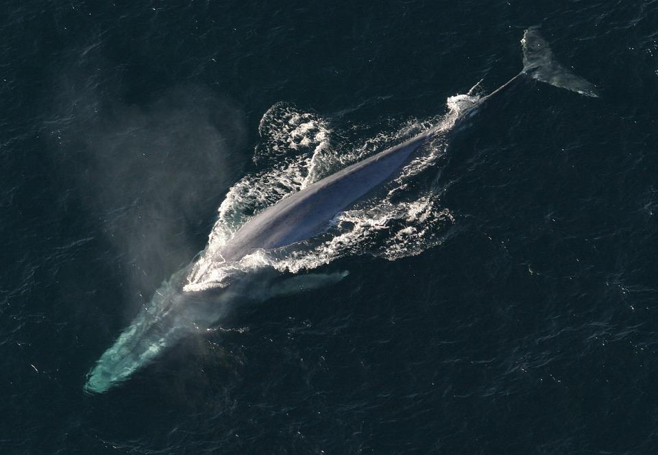 藍鯨也被成為白須鯨,是世界上現存體積最大的動物!