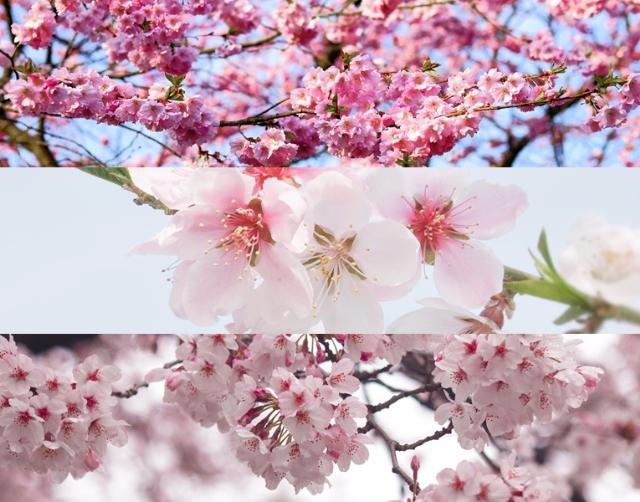 不知道就糗了!梅花、櫻花、桃花超簡單區分法