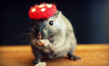 戴帽裝可愛趴吐 沙鼠的時尚秀