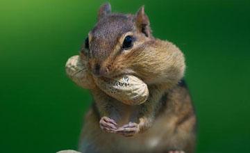 口腔伸縮自如 原來松鼠嘴巴這麼大
