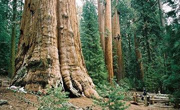 高25層樓的千年巨樹 他們挑戰幫它拍一張全身照