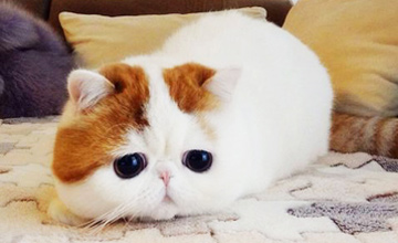 無時無刻都想抱抱牠 牠是苦情悲傷貓