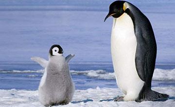不是靠外表der 企鵝萌翻人心另有原因