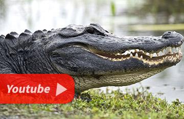 如果遇到鱷魚千萬別下車,否則下場就會是這樣....