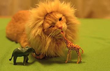 想養獅子想瘋了? 只要為喵星人準備這個就OK