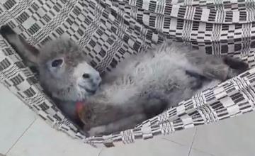 比狗狗還會賣萌的 世界上最可愛的驢子