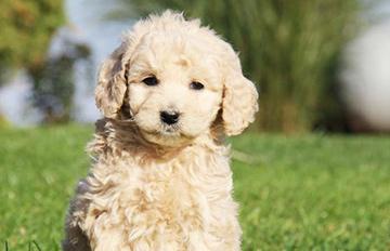 連吃到一半的炸雞也可以讓給牠的 可愛的狗狗Goldendoodle