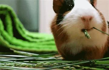 怕寂寞的天竺鼠(´;ω;`) 瑞士禁止只養一隻!