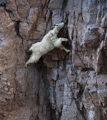高山裡飛簷走壁 無視地心引力的生物