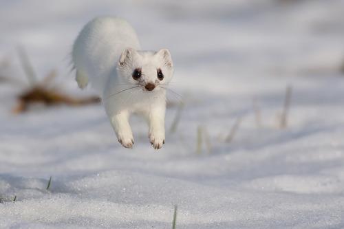跳躍中的小白鼬