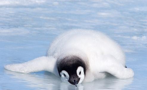 企鵝除了有軟呼呼的毛...