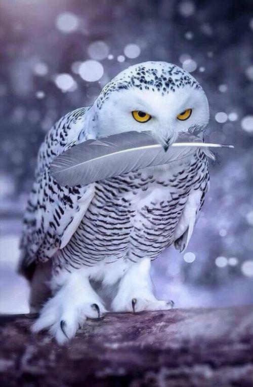 當然也有超級花美男灰林鴞♡