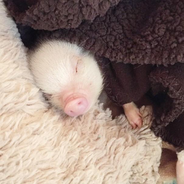 家裡有養迷你豬的本來就不多 還養了這麼可愛的一隻 心都要融化惹~♡