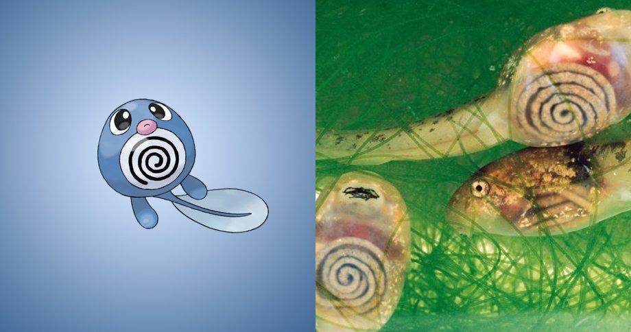 1. 蚊香蝌蚪 原型:一種薄得幾乎可以透出漩渦樣內臟的半透明蝌蚪