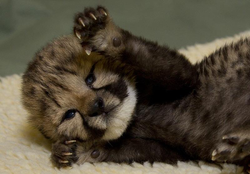 「吼~」 還這麼小就已經開始想像爸爸媽媽一樣有洪量的吼聲了嗎? 小豹的幼兒臉跟娃娃長得一模一樣呢~