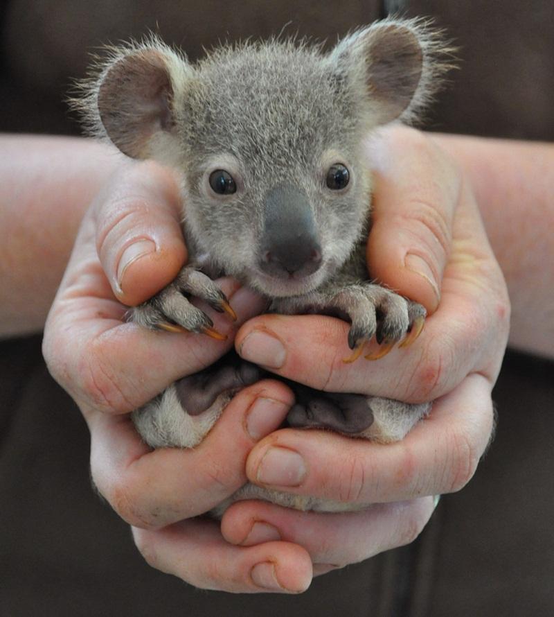 你可以再靠近一點~嚇! 無尾熊寶寶你看過嗎!? 睜得大大的眼睛,似乎對這世界的一切都感到很新鮮呢~(笑)