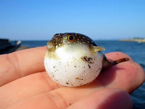 1. 河豚 雖然帶有毒性,卻圓滾滾得可愛的魚類XD