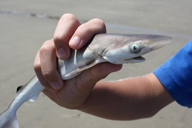 11. 鯊魚 有海中殺手之稱的牠, 大致海豹、烏龜,小至魚類、浮游生物都是他的掠食對象! 不過也因為人類喜歡使用魚刺, 光是一年,這物種就少了數千萬隻了.....(難過)  *雖然他是海中殺手,可是少了牠,海洋的生物鍊也是會被破壞的!