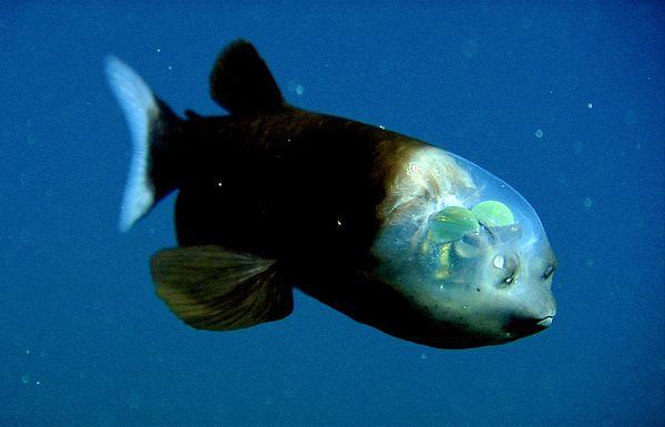 7. 太平洋幽靈魚(Spookfish)