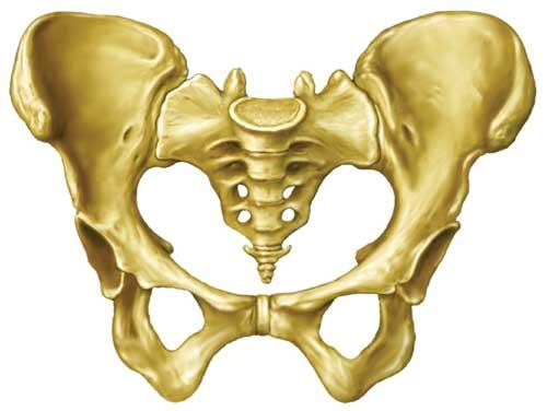 骨盆正是銜接脊椎和雙腳骨頭的部位!