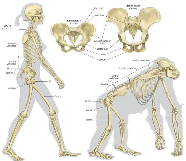 可是,骨盆太大的話相反的有個很嚴重的問題! 那就是過大的骨盆,我們就無法直立走動了! (看上圖就能了解其中的差異!)