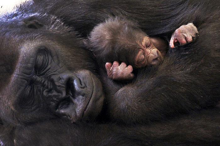 而且,因為猩猩是四隻腳動物, 牠們相對的也會比我們人類的骨盆還要寬! 因此在生產時感受不到那摸大的痛苦, 也很快速地,只需要20分鐘就可以生下小寶貝了呢!