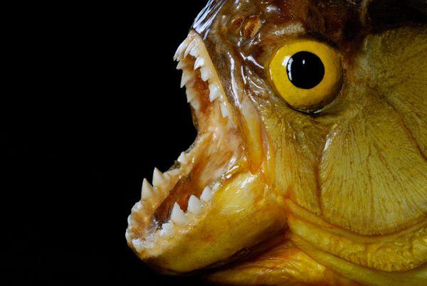 來自南美洲的惡魔魚~「食人魚」 (長得就好邪惡)