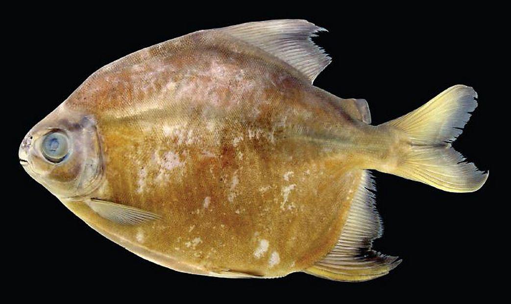 正確的學名目前還未確定的新種食人魚, 與基準的食人魚不同,有著不食肉的特性!