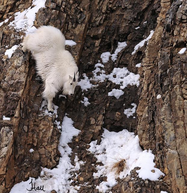 牠們為了要在峭壁上尋找食物 有時候必須要攀岩走壁