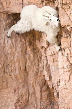 而且公羊的體重從45到130公斤都有欸~