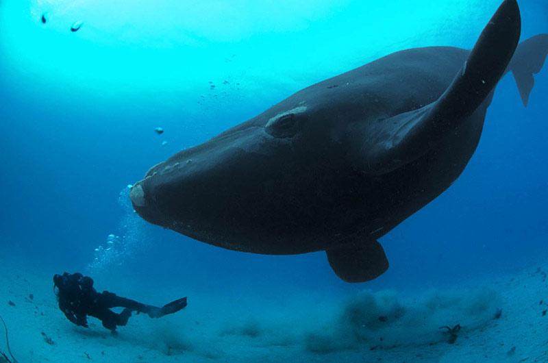 大王鯨魚為了維持本身這摸大的體積,每天都要吃下150噸的浮游生物才行!