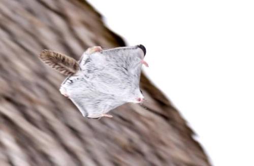 飛鼠的飛膜平常不用的話,就像這樣像肥肥嫩嫩的鮪魚肚XDD