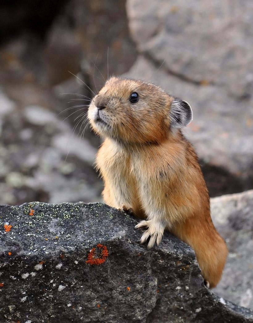 鼠兔是一種長得像老鼠的兔子!