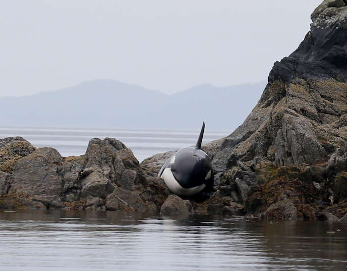 這個事件是發生在加拿大的不列顛哥倫比亞海邊~有人發現海岸邊有什麼聲音在呼救,結果仔細一查看,竟然是一條幼年虎鯨!牠因為退潮之後來不及脫身,擱淺在岩灘上~