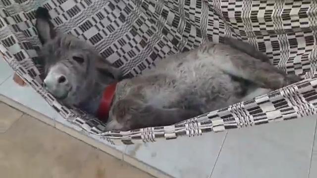 躺在吊床上...擺出銷魂pose的小驢子...!
