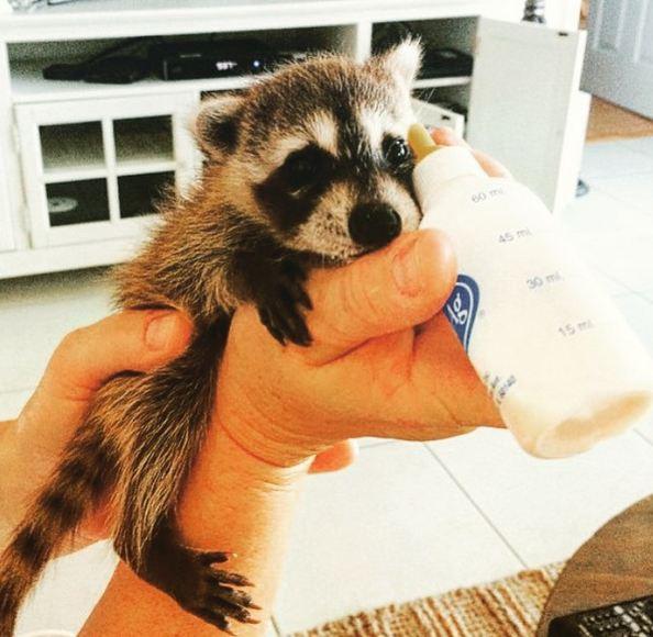 某天,一隻出生一個月的小浣熊被一家人在後院發現....
