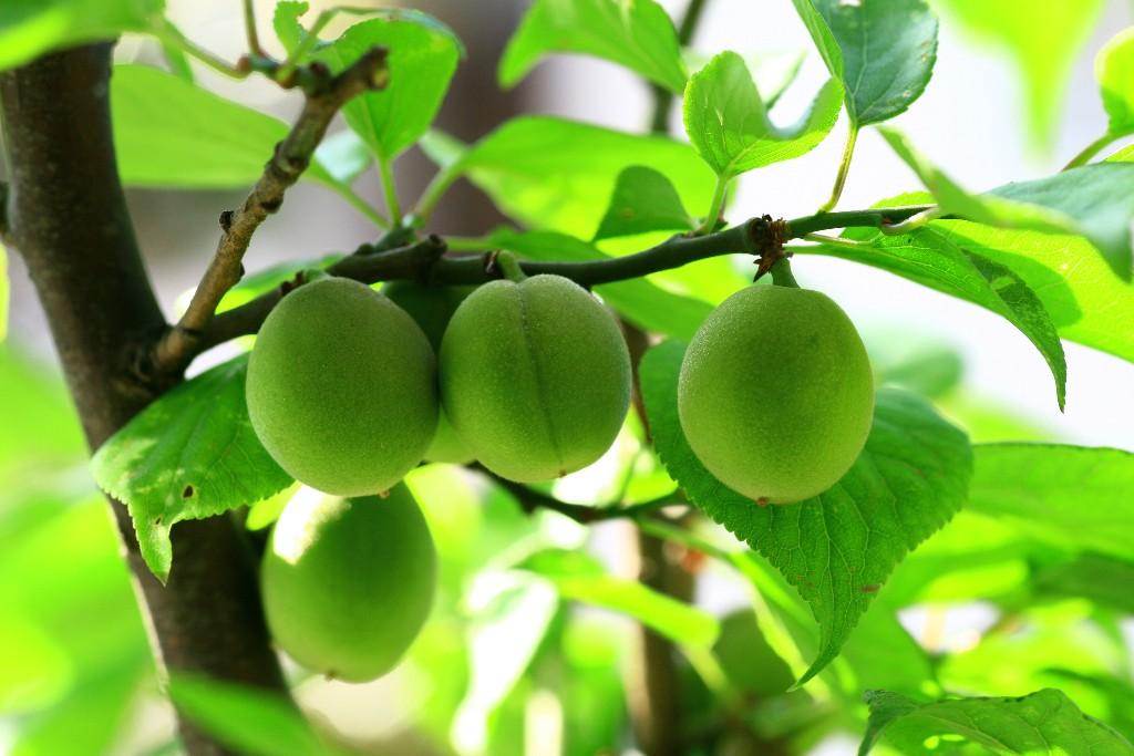 #2 梅子茶 梅子中含有大量的檸檬酸和蘋果酸等有機酸,製成茶飲用,不僅對感冒引起的嗓子疼有益,還對感冒引起的發燒有療效。