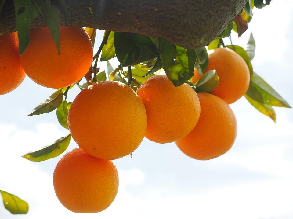 橙子顏色鮮艷,酸甜可口,外觀漂亮,一直以來都是是深受鄉民喜愛的水果~