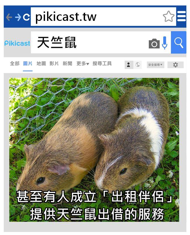 Priska Küng養了約80隻大大小小、年紀個性不同的天竺鼠提供出租